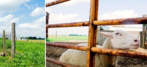 sheepfarm
